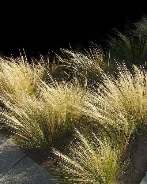 观赏草在景观设计中的应用
