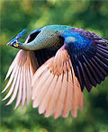 空中飞翔孔雀绝美画面